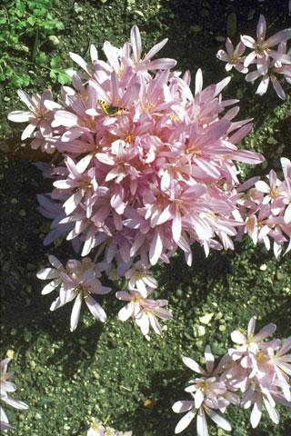 Herbstzeitlose, Colchicum autumnale